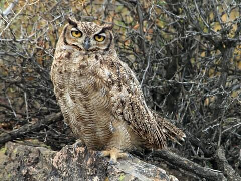 Great Horned Owl Identification, All About Birds, Cornell Lab of Ornithology