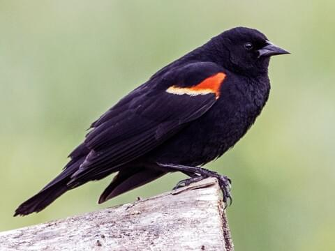 Red-winged Blackbird Identification, All About Birds ...
