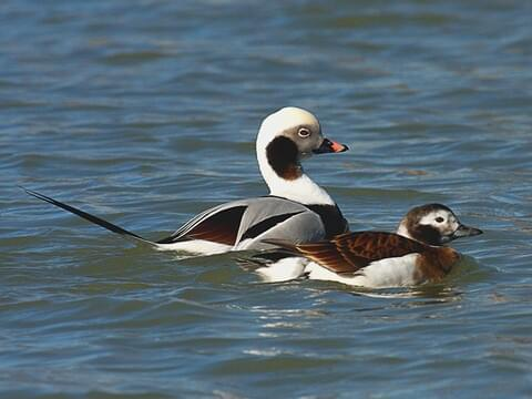 Long-Tailed Duck Pair