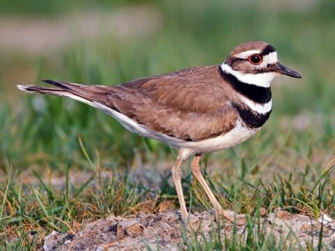 Killdeer Identification, All About Birds, Cornell Lab of Ornithology