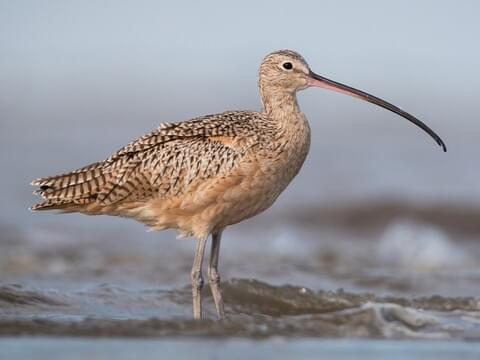 Long-billed Curlew Adult
