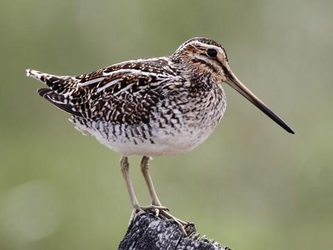 Wilson's Snipe Identification, All About Birds, Cornell Lab