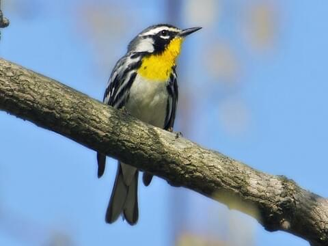 Yellow-throated Warbler Identification, All About Birds