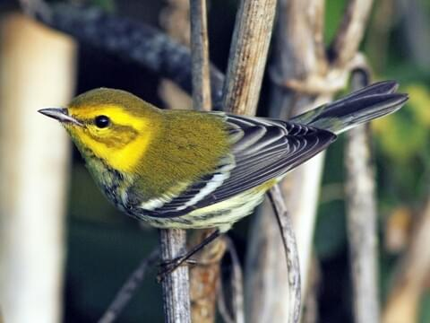 Black-throated Green Warbler Identification, All About Birds