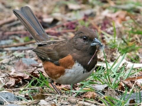 Eastern Towhee Identification, All About Birds, Cornell Lab