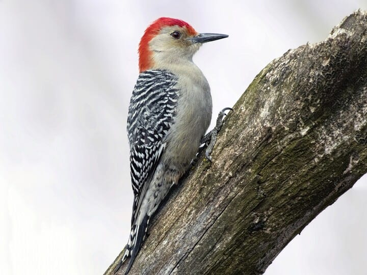 Similar Species to Red-headed Woodpecker, All About Birds, Cornell ...