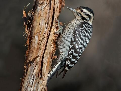 Ladder Backed Woodpecker Identification All About Birds