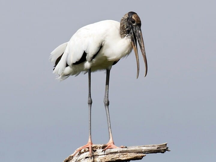 All About Birds Great Egret >> Similar Species To Great Egret All About Birds Cornell Lab Of