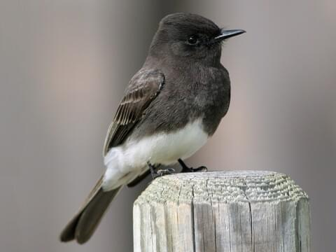 Black Phoebe Identification, All About Birds, Cornell Lab of Ornithology