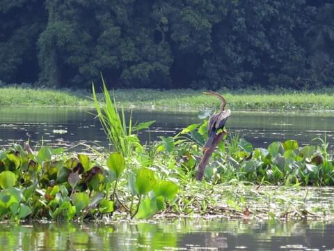 Anhinga Identification, All About Birds, Cornell Lab of