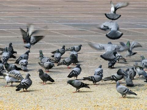 Rock Pigeon Identification, All About Birds, Cornell Lab of
