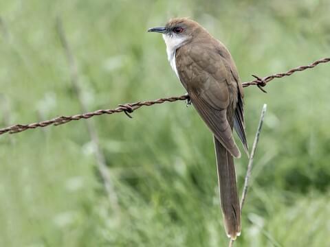 Strålande Black-billed Cuckoo Identification, All About Birds, Cornell Lab HG-49