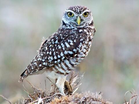 Burrowing Owl Identification, All About Birds, Cornell Lab of Ornithology