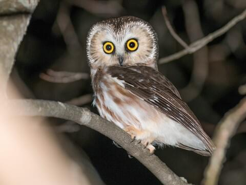 Northern Saw-whet Owl Identification, All About Birds, Cornell Lab of Ornithology
