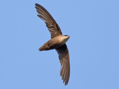 Chimney Swift Identification, All About Birds, Cornell Lab of