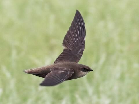 Chimney Swift Identification, All About Birds, Cornell Lab