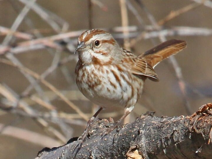 Song Sparrow Adult (Southwest)