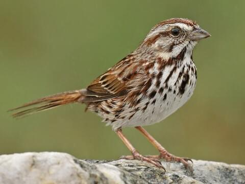 Image result for song sparrow