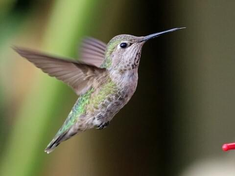 Anna's Hummingbird Identification, All About Birds, Cornell Lab of ...