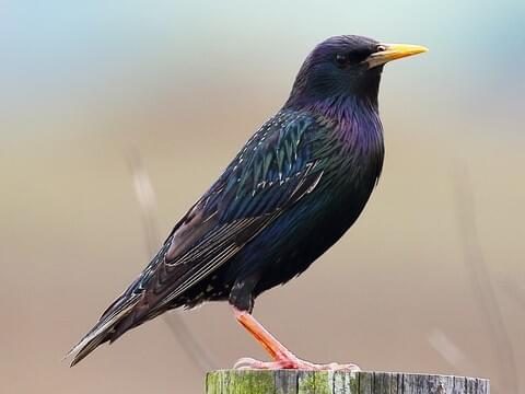European Starling Identification, All About Birds, Cornell