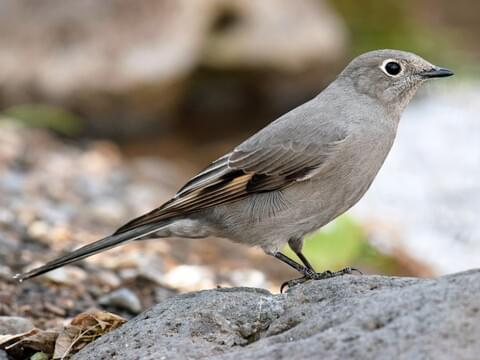 Townsend's Solitaire Adult