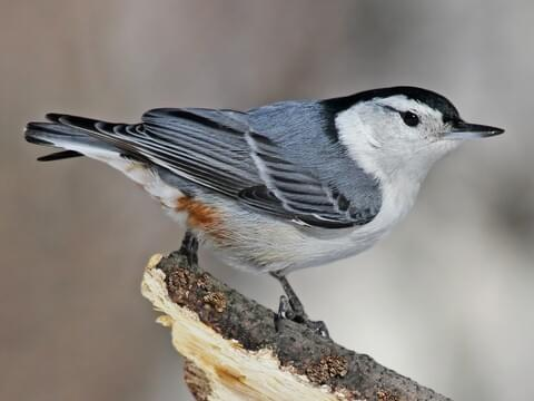 Image result for White-breasted nuthatch
