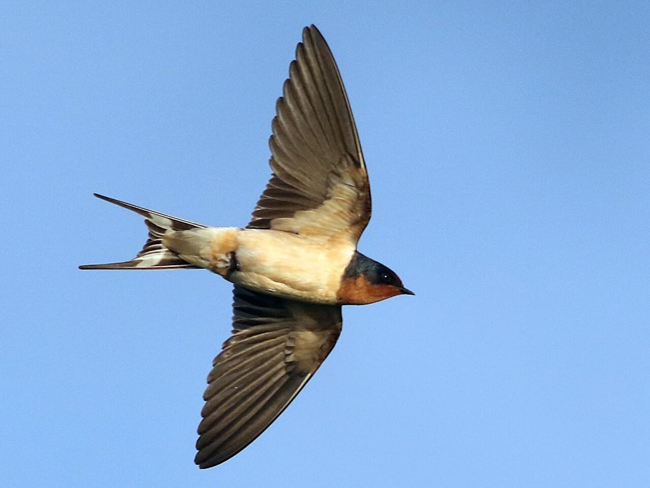 Barn Swallow | Celebrate Urban Birds