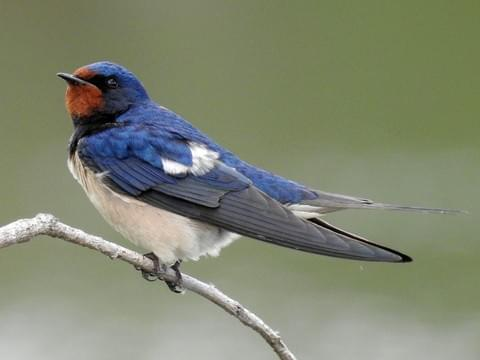 barn swallow identification all about birds cornell lab of ornithology barn swallow identification all about