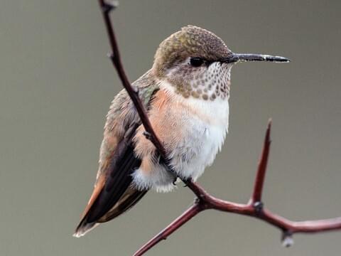 Rufous Hummingbird Identification, All About Birds, Cornell