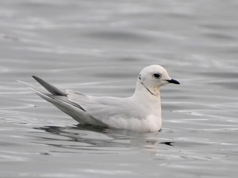 Ross's Gull Breeding adult