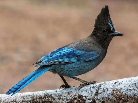Steller S Jay Identification All About