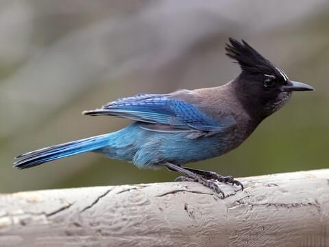Steller's Jay Identification, All About Birds, Cornell Lab of