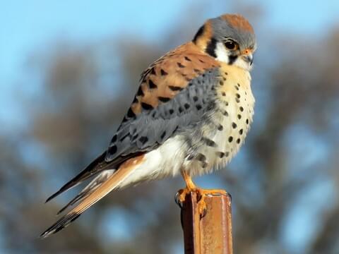 American Kestrel Identification, All About Birds, Cornell Lab of