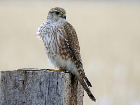 Merlin Identification, All About Birds, Cornell Lab of Ornithology