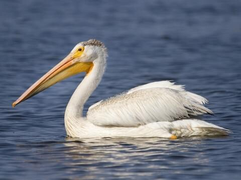American White Pelican Identification All About Birds Cornell Lab Of Ornithology