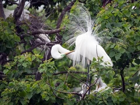 All About Birds Great Egret >> Great Egret Identification All About Birds Cornell Lab Of Ornithology