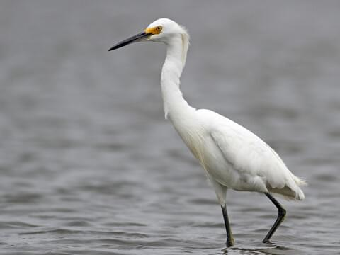 Snowy Egret Identification, All About Birds, Cornell Lab of Ornithology