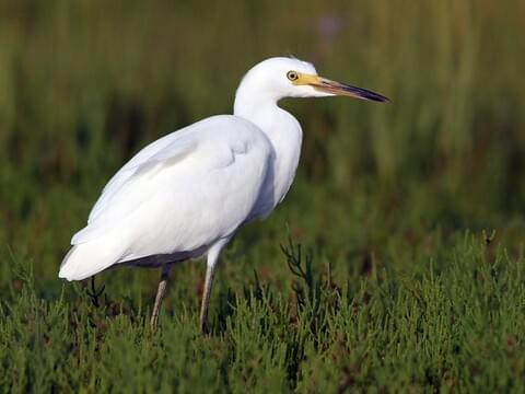 All About Birds Great Egret >> Snowy Egret Identification All About Birds Cornell Lab Of Ornithology