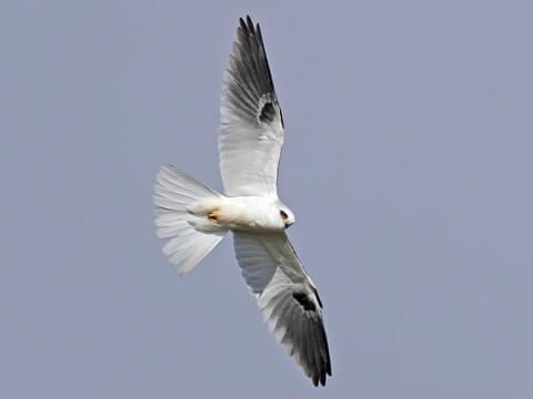 White-tailed Kite Adult
