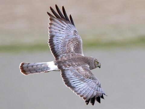 Northern Harrier Identification All About Birds Cornell Lab Of Ornithology