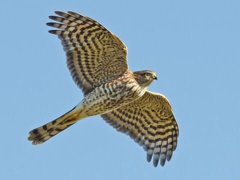 Sharp Shinned Hawk Identification All About Birds Cornell Lab Of Ornithology