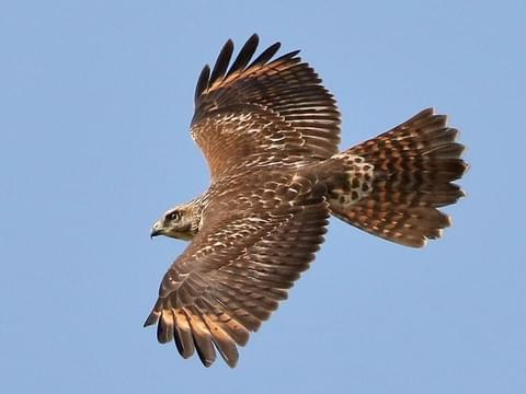 Red-shouldered Hawk Identification, All About Birds, Cornell Lab of