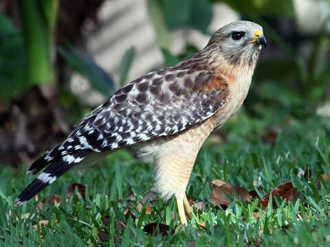 Red Shouldered Hawk Identification All About Birds Cornell Lab Of Ornithology