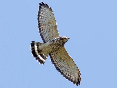 Broad-winged Hawk Identification, All About Birds, Cornell Lab of Ornithology