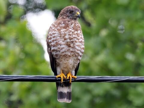 Broad Winged Hawk Identification All About Birds Cornell Lab Of Ornithology