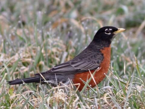 American Robin Identification, All About Birds, Cornell Lab