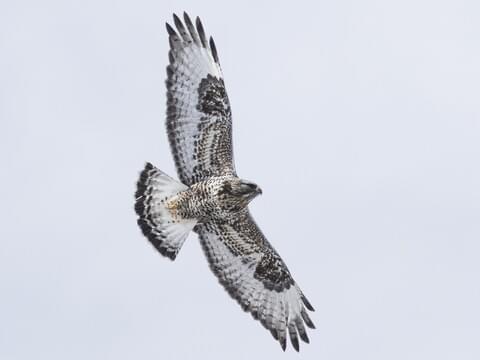 Rough-legged Hawk Identification, All About Birds, Cornell Lab of Ornithology
