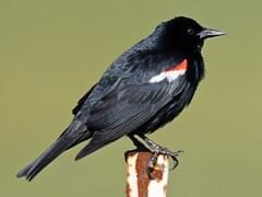 Blackbirds Browse by Shape, All About Birds, Cornell Lab of