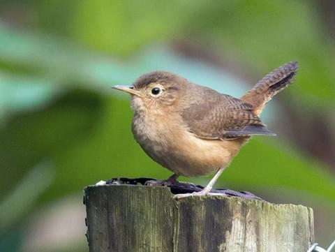 House Wren Identification, All About Birds, Cornell Lab of Ornithology