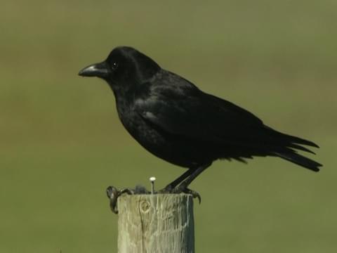 More Raven Stories